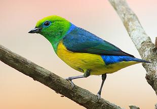 """""""Birdwatching"""" em Campos do Jordão"""