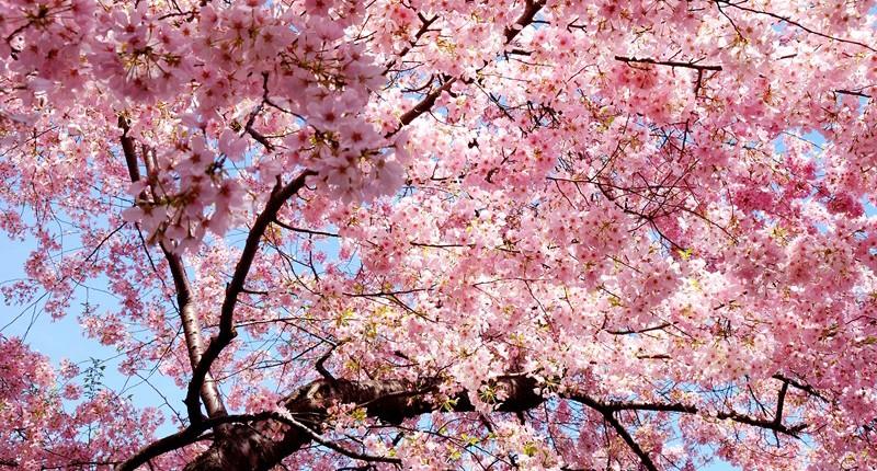 51ª Festa da Cerejeira em Flor de Campos do Jordão